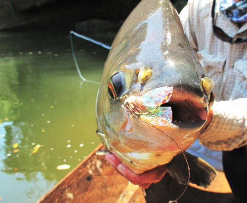 histoire de pêche, dorado, pacu à la mouche, pêche du pacu, gros pacu en sèche, Tsimane lodge, dorado et pacu bolivien, Jean-Baptiste Vidal Moniteur-Guide de pêche à la mouche, Enjoy Fishing