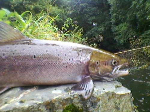 Saumon, bretagne, saumon à la mouche, pêche à vue, rivière bretonnes, triplé de saumons, Finistère, Elorn, Ellé, Aven,