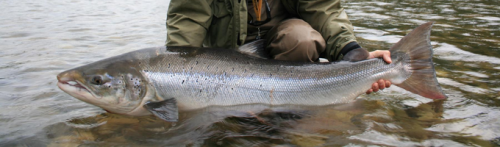 Norvège, rivière Gaula, saumon atlantique, Norway, Gaula, atlantic salmon, N.F.C., Norwegian Flyfishers Club
