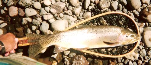histoire de pêche, grosse truite du Montana, Montana, Idaho, Wyoming, Pêche dans le Montana, pêche dans le Parc du yellowstone, pêche à la mouche, truite cutthroat, Jean-Baptiste Vidal Moniteur-Guide de pêche, Enjoy Fishing