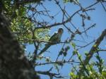 Perroquet-Parrot.JPG
