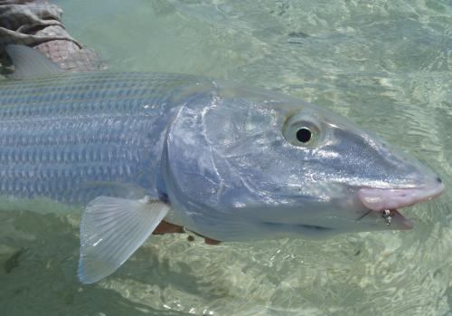 histoire de pêche,énorme bonefish à la mouche,bonefish de nouvelle calédonie,beonfish trophée,gros bonefish,jean-baptiste vidal moniteur-guide de pêche,enjoy fishing